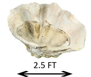 Giant Clam Shell, Tridacna Gigas