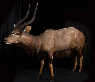 COMPLETE TAXIDERMY OF NYALA