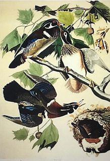 Wood Duck, Lithograph After Audubon, by M. Bernard