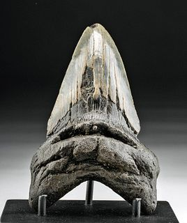 Fossilized Preshistoric Megalodon Tooth 5""