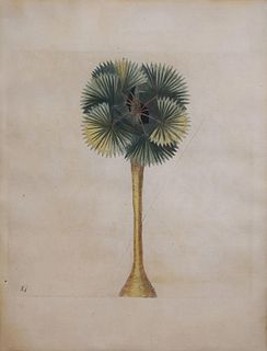 Mark Catesby (ca. 1679-1749) - Plate 84 (Cabbage Palm)