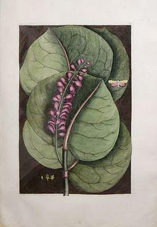 Mark Catesby (1683-1749) T96 - The Mangrove Grape-Tree