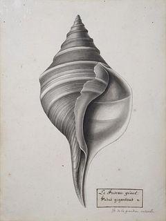 Christophe Paulin de la Poix de Fremenville (1747-1848) - Fusus Giganteus (Horse Conch Shell)