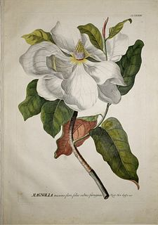 Georg Ehret (1708-1770) - Magnolia, Tab XXXIII