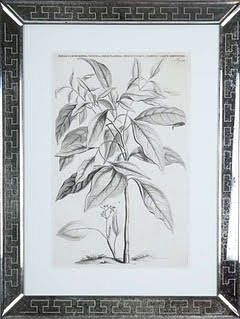 Jan & Caspar Commelin: 17th century botanical engravings.