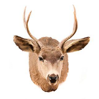 Venado cola blanca. Texas, Estados Unidos. Siglo XX. Taxidermia. 47 x 42 x 57 cm.