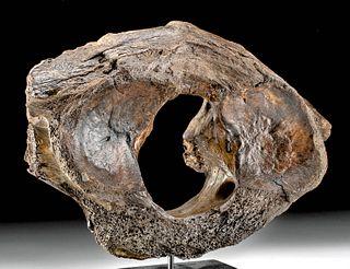 Fossilized Mammoth Neck Vertebra