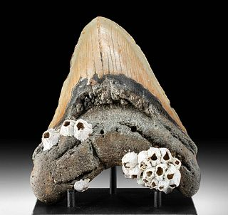 Polished Megalodon Tooth with Barnacles