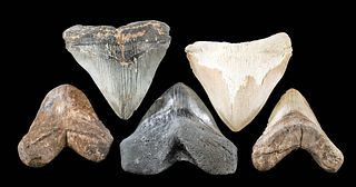 Fossilized Megalodon Teeth - Group of 5