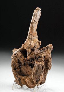 Fossilized Triceratops Dinosaur Vertebrae