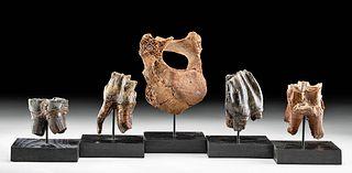 Four Pleistocene Woolly Rhino Teeth & Walrus Vertebra