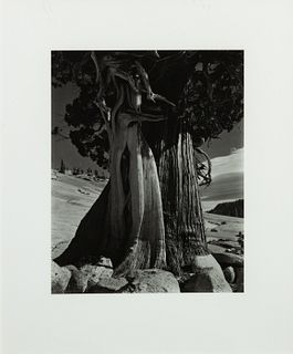 Edward Weston (American, 1886-1958) Juniper at Lake Tenaya, 1936 (printed later)