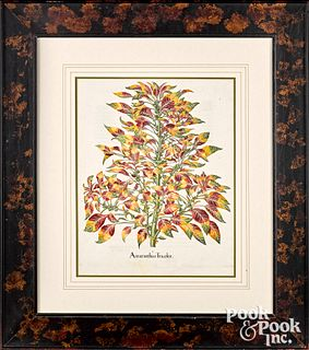 Two Basilius Besler color engraved botanicals