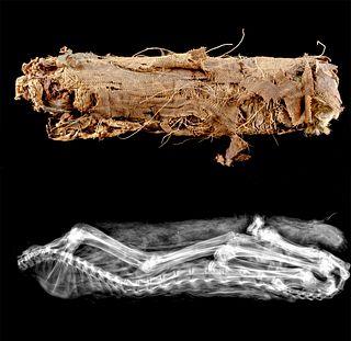 Egyptian Ptolemaic Linen Wrapped Mummified Cat w/ X-Ray