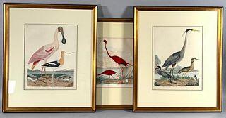 Three Alexander Wilson Ornithological Engravings