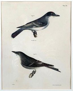 Two J.W. Hill Ornithological Prints