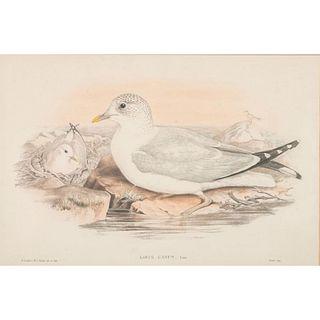 John Gould Lithograph Print, Larus Cancus