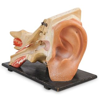 Antique Medical Anatomical Ear Model