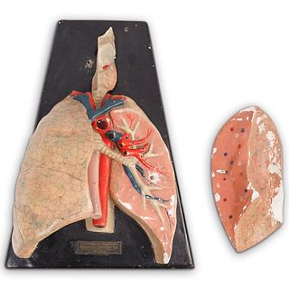 Antique Medical Anatomical Human Lung Model