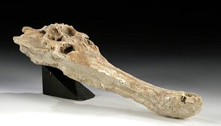 Moroccan Fossilized Crocodile Skull
