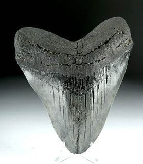 Massive Fossilized Megalodon Tooth - More than 6""