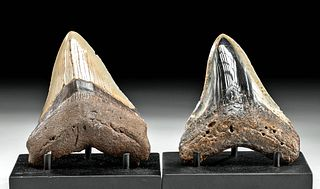 Two Fossilized Megalodon Teeth w/ Gorgeous Gradients