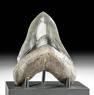 Lustrous Fossilized Megalodon Tooth w/ Matte Root