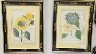 Set of Four Johann Wilhelm Weinmann (1683 - 1741) Botanical Hand Colored Engravings, of chrysanthemums, each matted in black and gilt frames, each sig