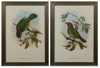 """John Gould (1804-1881, English), """"Alluroedus Melantonis,"""" and """"Alluroedus Maculisis,"""" 20th c., pair of catbird prints, after the 19th c. originals, pr"""