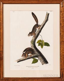 John James Audubon (1785-1851) Richardsons Columbian Squirrel,lithograph by Bowen, Philadelphia, 1842