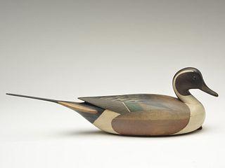 Pintail drake, Mark McNair, Craddockville, Virginia.