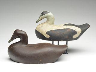 Rigmate pair of eiders, Jess Obed, Cape Negro, Nova Scotia.