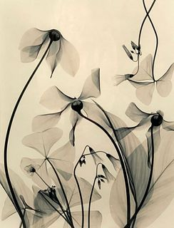 Judith K.McMillan Photograph, X-Ray Flowers