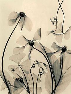 Judith K.McMillan Photograph, X-Ray Flowers