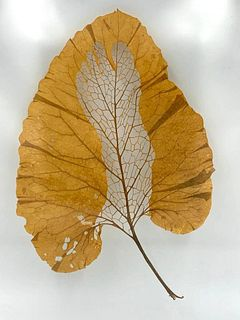 Janet Pihlblad, Cut Burdock Leaf, Foot