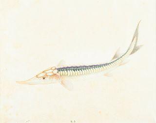 19th c. Chinese Sturgeon Watercolor Illustration