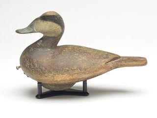 Ruddy duck drake, Cameron McIntyre, New Church, Virginia.