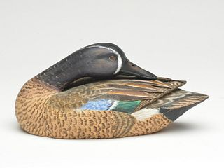 Preening bluewing teal drake, Mike Frady, New Orleans, Louisiana.