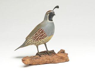 Standing Gambel's quail, Bruce Burk., California.