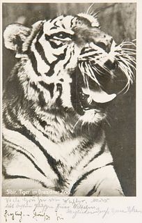 Renger-Patzsch, Albert Sibirischer Tiger im Dresdner Zoo. Photopostkarte (Vintage, Silbergelatine, rückseitig mit Postkartenaufdruck). 1927. 12,1 x 8,