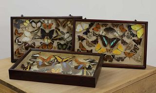 Three cases of preserved butterflies,