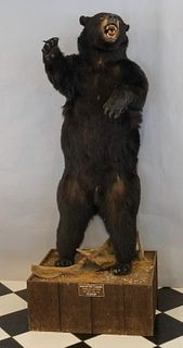 Competition Trophy Mount - Taxidermy Black Bear