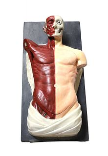 An Adam,Rouilly anatomical torso,