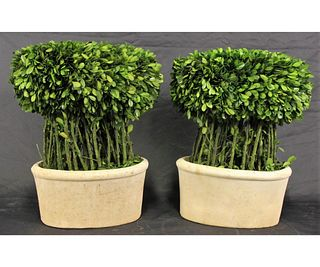 PAIR OF PRESERVED BOXWOOD WILLOW TOPIARY
