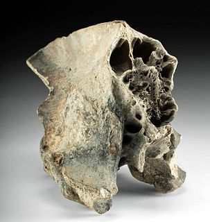 Rare Fossilized Sabertooth Cat Skull - Entire Back Half