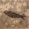 GREEN RIVER FOSSILIZED EOCENE FISH IN HONED FINISHED TILE