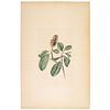 A Hand-Colored Audubon Engraving, Havell Edition Plate V, Bonaparte Fly Catcher