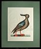 "Mark Catesby Engraving - ""Blue Winged Shoveler"" - 1771"