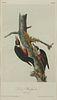 "John James Audubon ""Lewis' Woodpecker "" Print"