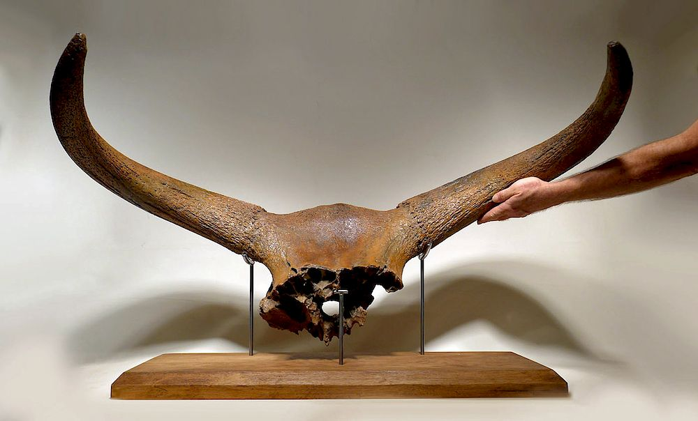 giant ice age aurochs fossil skull w horn published by artemis
